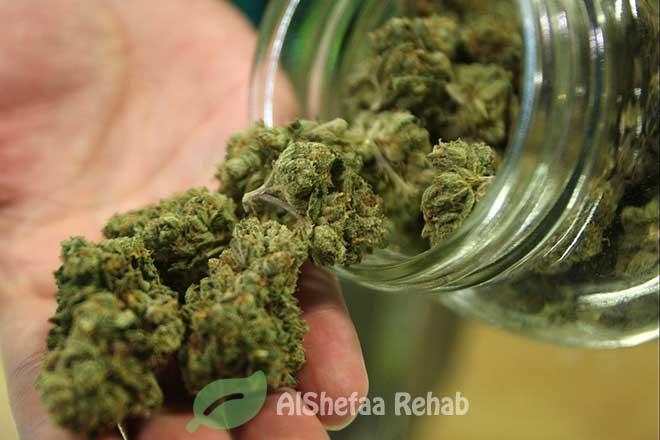 الحشيش والماريجوانا .. الوجهان القبيحان لنبات القنّب المخدر