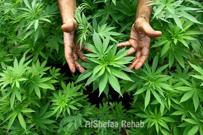 علاج ادمان مخدر القنب ومشتقاته وأخطاره
